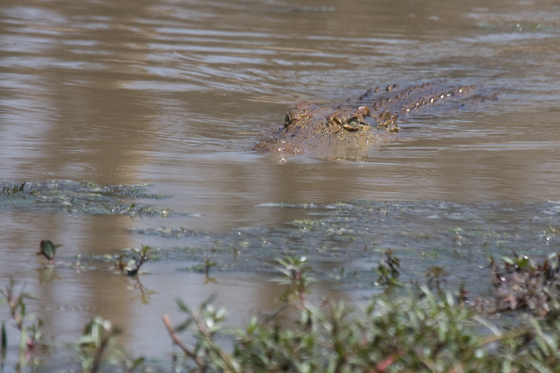 """""""Here Crocy""""  Who said Crocs are stupid?  This croc responded to Ranger Wendel Hough's call."""