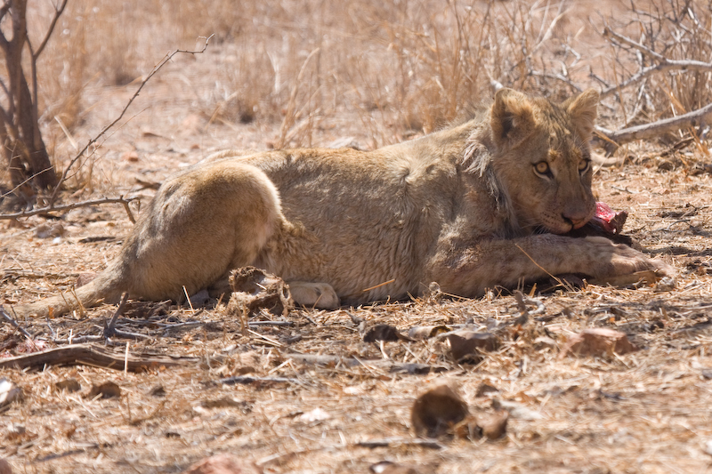 This lion cub snatched a piece of meat from its father.