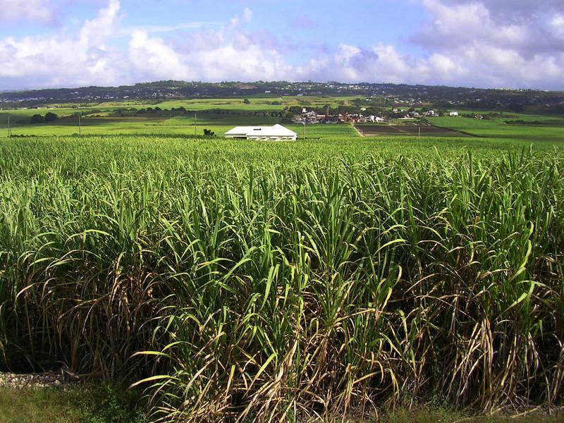 Sugarcane in Barbados