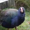 Zealandia - Takahe