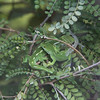 Zealandia - Wellington Green Gecko