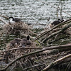Zealandia - Black Shag (Kawau) and Pied Shag (Karuhkahi)