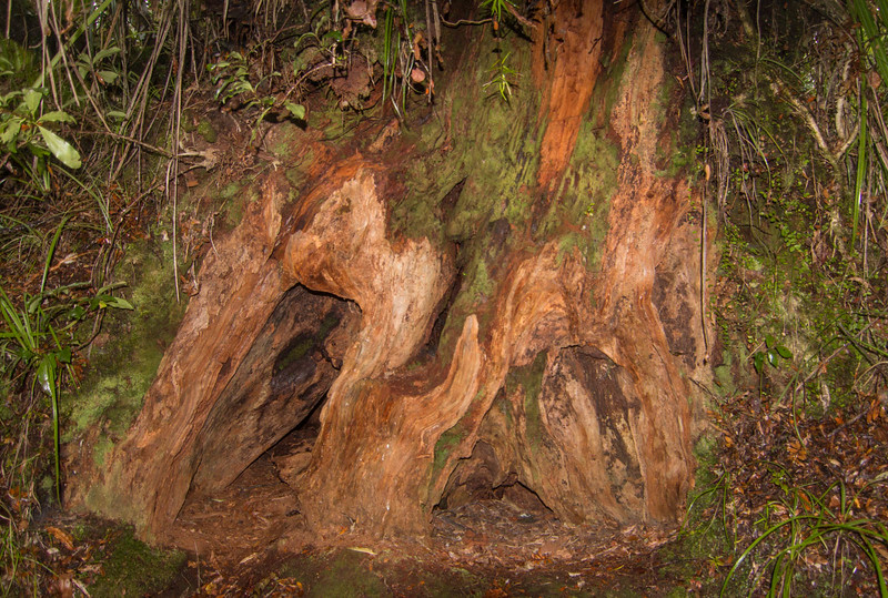 Base of fallen Kauri