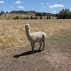 Alpaca at Helm WInes