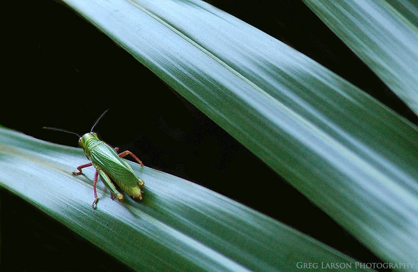 Grasshopper, Ibera Lagoon, Argentina