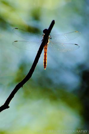 Dragonfly, Ibera Lagoon, Argentina