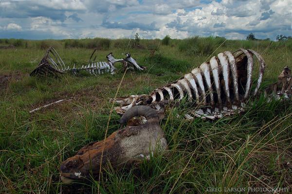 Dead Cattle, Ibera Lagoon, Argentina
