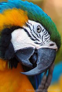Macaw, Brazil