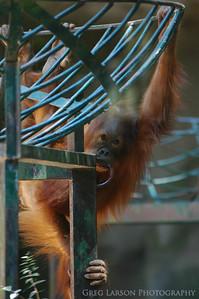 Orangutan, Buenos Aires Zoo, Argentina