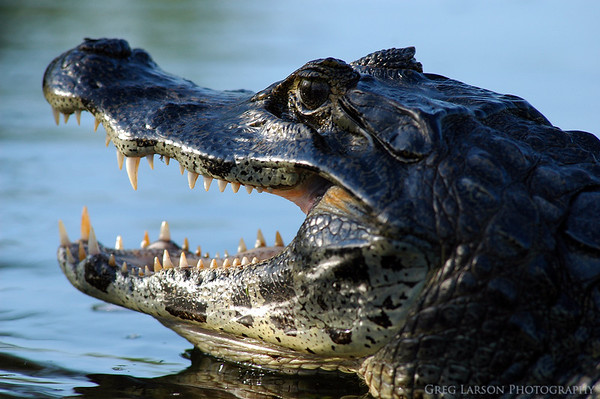 Caiman, Ibera Lagoon, Argentina