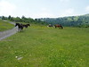 """06/11/04, """"Wild Ponies"""" along the Rhododendron Trail."""
