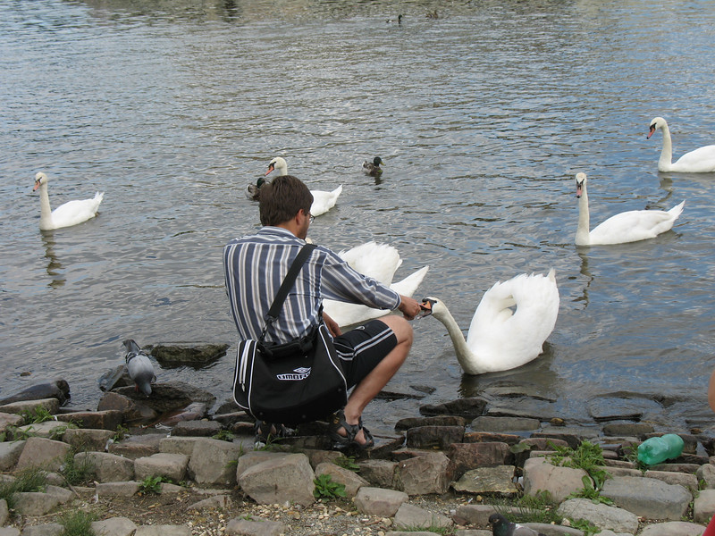 These swans were very tame