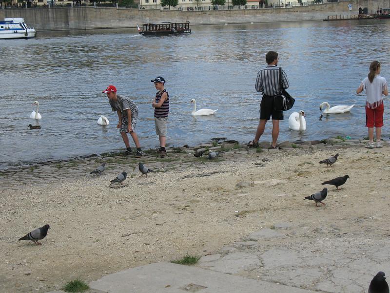 Feeding the swans - Vltava River