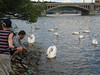 Feeding the swans on the river bank