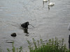 Black Lab retrieving a stick which his master thew into the river