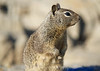 Pacific Grove Squirrels_20120508  014