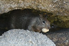 Pacific Grove Wildlife_2014-Aug  024
