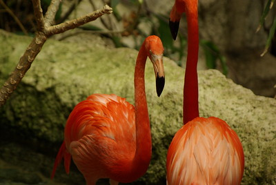 "Flamingos are gregarious wading birds in the genus Phoenicopterus and family Phoenicopteridae. They are found in both the Western and Eastern Hemispheres, but are more numerous in the latter. There are four species in the Americas while two exist in the Old World. A group of flamingos is called a ""pat"" or a colony. Evolution   Lesser Flamingos in the Ngorongoro Crater, TanzaniaThe prehistory of the Phoenicopteriformes is far better researched than their systematic affinities (see below). An extinct family of peculiar ""swimming flamingos"", the Palaelodidae, was initially believed to be the ancestors of the Phoenicopteridae. This is nowadays rejected, as the fossil genus Elornis, apparently a true albeit primitive flamingo, is known from the Late Eocene, before any palaelodid flamingos have been recorded. A considerable number of little-known birds from the Late Cretaceous onwards are sometimes considered to be flamingo ancestors. These include the genera Torotix, Parascaniornis, Scaniornis, Gallornis, Agnopterus, Tiliornis, Juncitarsus and Kashinia; the latter two are probably proto-flamingos, while the relationships of the others are not clear at present."