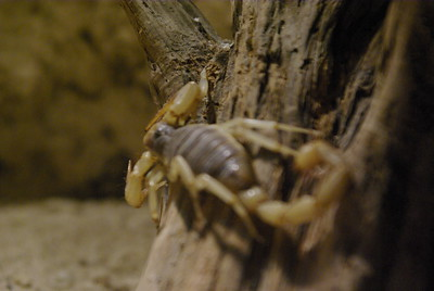 "A scorpion is an invertebrate animal with eight legs, belonging to the order Scorpiones in the class Arachnida. Scorpions are related to spiders, mites, and ticks. The body of a scorpion is divided into two segments: the cephalothorax (also called the prosoma) and the abdomen/opisthosoma. The abdomen consists of the mesosoma and the metasoma.  Cephalothorax/prosoma: the scorpion's ""head"", comprising the carapace, eyes, chelicerae (mouth parts), pedipalps (claw) and the four pairs of walking legs.  Mesosoma: the abdomen's front half, is made up of six segments. The first segment contains the sexual organs as well as a pair of vestigial and modified appendages forming a structure called the genital operculum. The second segment bears a pair of featherlike sensory organs known as the pectines; the final four segments each contain a pair of book lungs. The mesosoma is armored with chitinous plates, known as tergites on the upper surface and sternites on the lower surface.  Metasoma: the scorpion's tail, comprising six segments (the first tail segment looks like a last mesosoman segment), the last containing the scorpion's anus and bearing the telson (the sting). The telson, in turn, consists of the vesicle, which holds a pair of venom glands and the hypodermic aculeus, the venom-injecting barb.  Cuticle: this makes a tough armor around the body. In some places it is covered with hairs that act like balance organs. An outer layer that makes them fluorescent green under ultraviolet light is called the hyaline layer. Newly molted scorpions do not glow until after their cuticle has hardened. The fluoresent hyaline layer can be intact in fossil rocks that are hundreds of millions of years old."