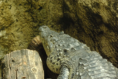 "Alligators are characterized by a wider snout and eyes more dorsally located than their crocodile cousins. Both living species also tend to be darker in colour, often nearly black but color is very dependent on the water. Algae-laden waters produce greener alligators; alligators from waters with a lot of tannic acid from overhanging trees are often darker (although the Chinese alligator has some light patterning.) Also, in alligators only the upper teeth can be seen with the jaws closed (in contrast to true crocodiles, in which upper and lower teeth can be seen), though many individuals bear jaw deformities which complicate this means of identification.  The eyes of a large alligator will glow red and those of a smaller one will glow green when a light is shined on them. This fact can be used to find alligators in the dark.  An average American alligator's weight and length is 800 lbs. and 13 feet long. According to the Everglades National Park website, the largest alligator ever recorded in Florida was 17 feet 5 inches long (5.3 meters). The largest alligator ever recorded measured 19 feet 2 inches (5.8 meters) and was found on Marsh Island, Louisiana. Few of the giant specimens were weighed, but the larger ones could have exceeded a ton in weight. The Chinese Alligator is smaller, rarely exceeding 7 feet (2 meters) in length.  Considering alligator's lifespan, it is usually estimated in the rank of 50 years or more. The specimen from Belgrade ZOO, Serbia, named ""Muja"" was its inhabitant from the opening in 1936, and is still alive and very vigorous (it survived both the Second World War and the NATO bombing n 1999). Therefore, it must be at least 80 years old, although not more than 12 feet long. http://www.beozoovrt.izlog.org"