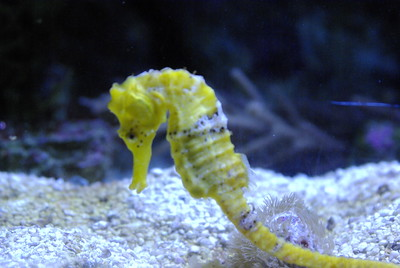"Seahorses are marine fish belonging to the genus Hippocampus and of the family Syngnathidae, which also includes pipefish. They are found in temperate and tropical waters all over the world.  Seahorses range in size from 16 mm (the recently discovered Hippocampus denise[2]) to 35 cm. Seahorses and pipefishes are notable for being the only species in which males become ""pregnant"".[3]  It has a dorsal fin located on the lower body and pectoral fins located on the head near their gills. Some species of seahorse are partly transparent and are rarely seen in pictures.  Seahorse populations have been endangered in recent years by overfishing. The seahorse is used in traditional Chinese herbology, and as many as 20 million seahorses may be caught each year and sold for this purpose.[4]  Import and export of seahorses has been controlled under CITES since May 15, 2004.  Sea dragons are close relatives of seahorses but have bigger bodies and leaf-like appendages which enable them to hide among floating seaweed or kelp beds. Seahorses and sea dragons feed on larval fishes and amphipods, such as small shrimp-like crustaceans called mysids (""sea lice""), sucking up their prey with their small mouths. Many of these amphipods feed on red algae that thrives in the shade of the kelp forests where the sea dragons live.  Seahorses reproduce in an unusual way: the male becomes pregnant. As stated on The Seahorse Project, ""The female inserts her ovipositor into the male's brood pouch, where she deposits her eggs, which the male fertilizes. The fertilized eggs then embed in the pouch wall and become enveloped with tissues."" New research indicates the male releases sperm into the surrounding sea water during fertilization, and not directly into the pouch as was previously thought.[5] Most seahorse species' pregnancies lasts approximately two to three weeks.  Hatched offspring are independent of their parents. Some spend time developing among the ocean plankton. At times, the male seahorse may try to consume some of the previously released offspring. Other species (H. zosterae) immediately begin life as sea-floor inhabitants (benthos).  Seahorses are generally monogamous, though several species (H. abdominalis among them) are highly gregarious. In monogamous pairs, the male and female will greet one another with courtship displays in the morning and sometimes in the evening to reinforce their pair bond. They spend the rest of the day separate from each other hunting for food."
