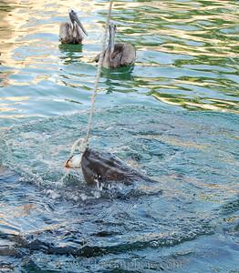 Sharks at feeding time