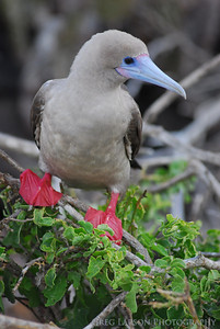Red Footed Boobie, Darwin Bay - Genovesa Island, Galapagos Islands