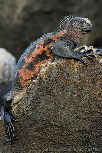 Marine Iguana, Espanola Island, Galapagos Islands