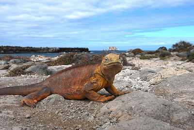 Land Iguana, South Plazas Island, Galapagos Island