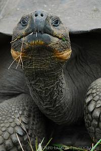 Galapagos Tortoise, Santa Cruz Island, Galapagos Islands