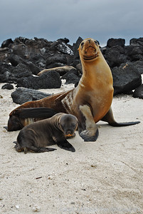Mother and Pup Sea Lion, Darwin Bay, Genovesa Island, Galapagos Islands.