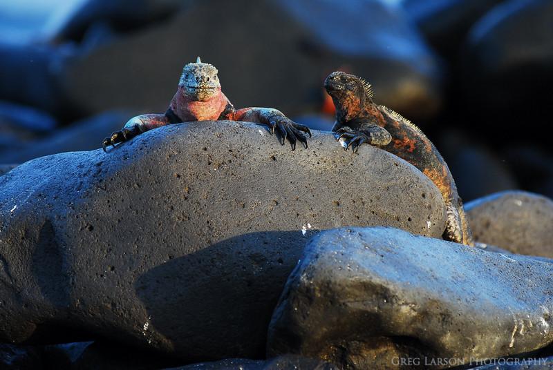 Marine Iguanas Basking, Espanola Island, Galapagos Islands