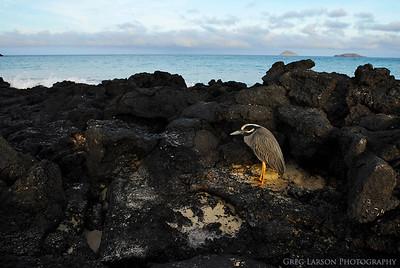 Lava Heron, Floreana Island, Galapagos Islands