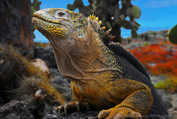 Land Iguana, South Plazas Island, Galapagos Islands