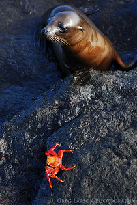 Sea Lion and Sally Lightfoot Crab, South Plazas Island, Galapagos Islands