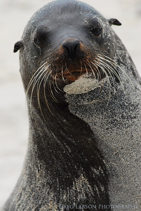 Sea Lion, Darwin Bay, Genovesa Island, Galapagos Islands