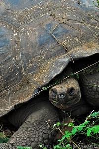 Galapagos Tortoise, Santa Cruz Island, Galapagos Island
