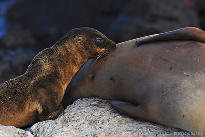 Sea Lion Nursing, South Plazas Island, Galapagos Islands