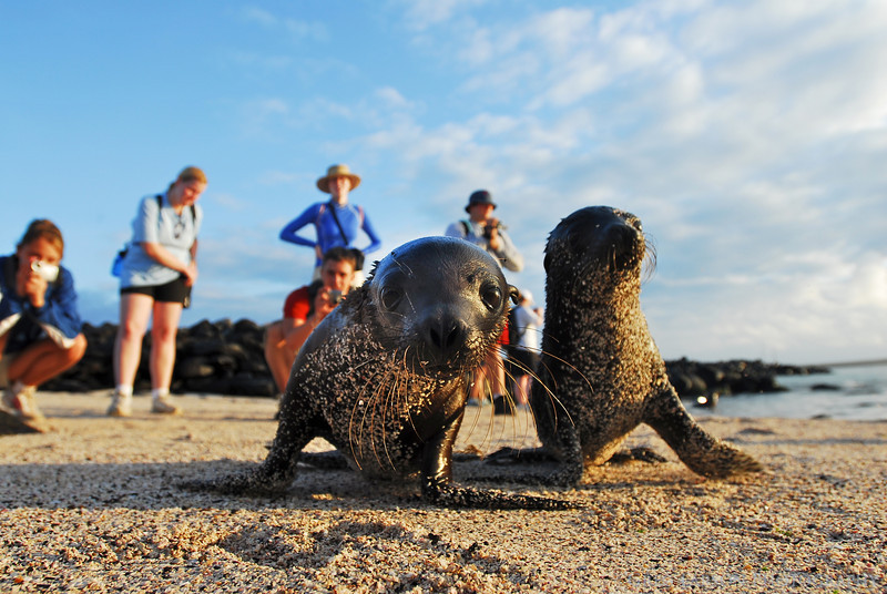 Curious Sea Lion Pups, Espanola Island, Galapagos Islands