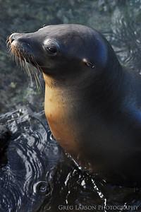 Sea Lion, South Plazas Island, Galapagos Islands