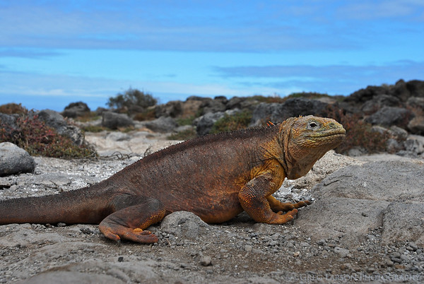 Land Iguana, South Plazas Island, Galapagos Islands