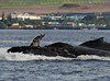 Maui 2013_Whales 176