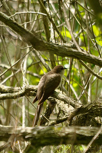 Black-billed Coockoo