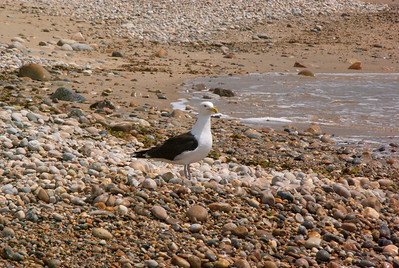 Another Seagull.  Notice the many round rocks.