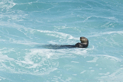 Sea Otter, Monterey Bay, California