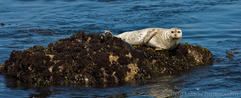 Harbor Seal and Pup, Pacific Grove, California