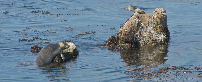 Harbor Seal, Pacific Grove, CA