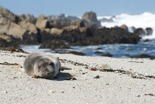 Young Female Elephant Seal, Pacific Grove, California