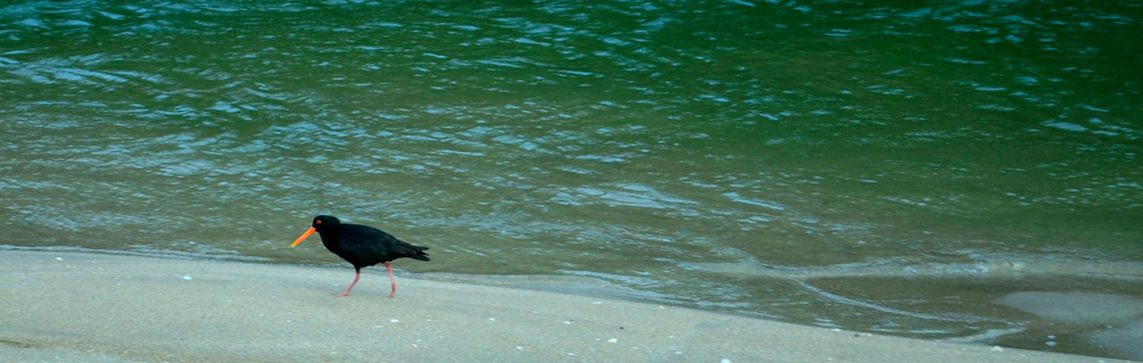 An Oyster Catcher patrols the shoreline. Opoutere.