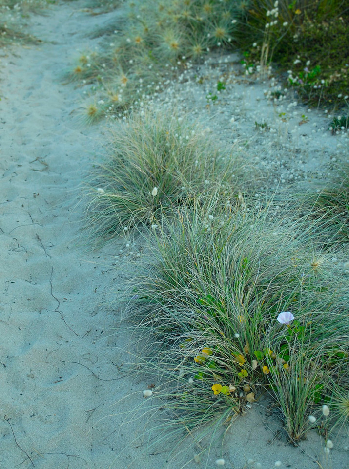 Grasses border a trail through dunes to the nests of the endangered Dotterel. Opoutere.